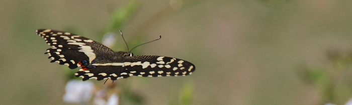 Citrus Swallowtail, one of the many beautiful butterflies omnipresent in our vineyard